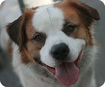 Australian Shepherd/St. Bernard Mix Dog for adoption in Canoga Park, California - Weston