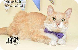 Domestic Shorthair Cat for adoption in New Orleans, Louisiana - Walker Bush