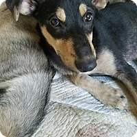 German Shepherd Dog/Siberian Husky Mix Puppy for adoption in Denver, Colorado - Kemba