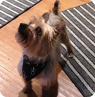 Yorkie, Yorkshire Terrier Mix Dog for adoption in Chalfont, Pennsylvania - Carson