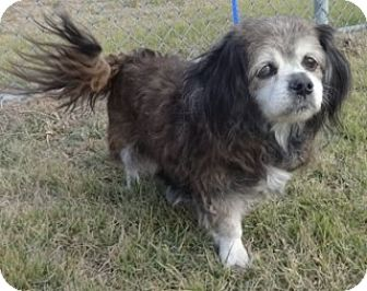 Spaniel (Unknown Type) Mix Dog for adoption in Olive Branch, Mississippi - Lil Lady