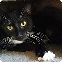 Domestic Shorthair Cat for adoption in Virginia Beach, Virginia - Reggae