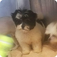 Adopt A Pet :: Little Bit - Canoga Park, CA
