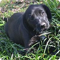 Adopt A Pet :: Claudia - Manchester, NH