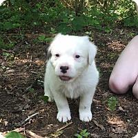 Adopt A Pet :: Wan Chai - Allentown, PA