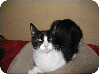 Domestic Shorthair Cat for adoption in Austin, Texas - Roxie