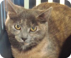 Domestic Shorthair Cat for adoption in Raritan, New Jersey - Eskimo