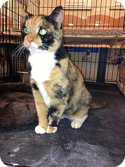 Domestic Shorthair Cat for adoption in Monroe, Georgia - Sedona