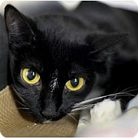 Domestic Shorthair Cat for adoption in New York, New York - Betty
