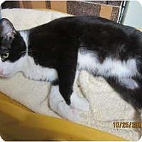 Adopt A Pet :: Tux (lap cat) - Sterling Hgts, MI