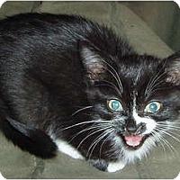 Adopt A Pet :: Smokey's #1 kitten - Westfield, MA