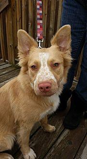 Australian Shepherd/Shepherd (Unknown Type) Mix Dog for adoption in Detroit, Michigan - Freckles - Foster Needed