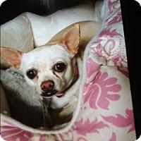Adopt A Pet :: Chloe chi - Palm Bay, FL