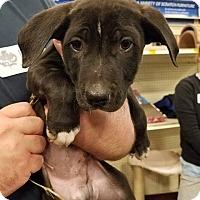 Adopt A Pet :: Firestorm - Gainesville, FL