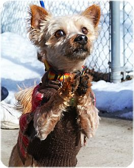 Yorkie, Yorkshire Terrier Mix Dog for adoption in Huntington, New York - Rio