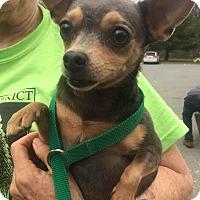Adopt A Pet :: Greysen - Loudonville, NY