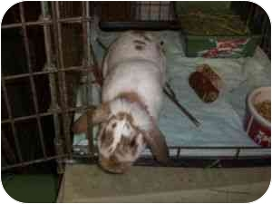 Mini Lop for adoption in Maple Shade, New Jersey - Lorzo