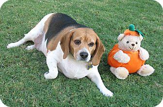 Beagle Mix Dog for adoption in Phoenix, Arizona - Spook