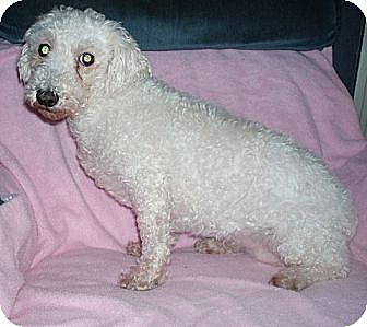Bichon Frise Mix Dog for adoption in Homer, New York - Reine