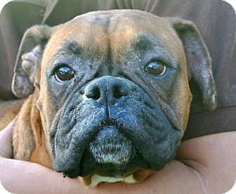 Boxer Dog for adoption in white settlment, Texas - Jasmine