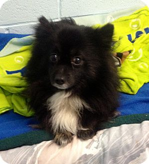 Pomeranian Dog for adoption in Muskegon, Michigan - Orso