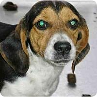 Adopt A Pet :: Jewels - Alexandria, VA