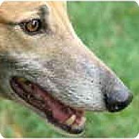 Adopt A Pet :: Crossfire - St Petersburg, FL
