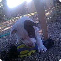 Adopt A Pet :: Sherman - scottsdale, AZ