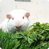 Guinea Pig for adoption in Coral Springs, Florida - Blaze (neutered)