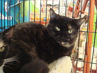 Domestic Shorthair Kitten for adoption in Sacramento, California - Princess M