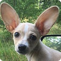 Adopt A Pet :: SUGAR - Allentown, PA