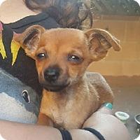 Adopt A Pet :: Foxy - Burbank, CA