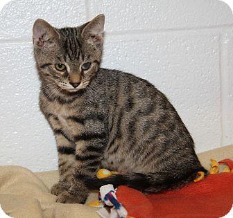 Domestic Shorthair Cat for adoption in Marietta, Ohio - Sammy (Neutered)