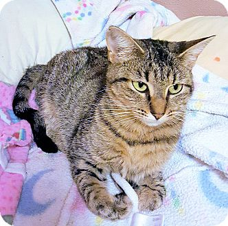 Domestic Shorthair Cat for adoption in Morganton, North Carolina - Belle