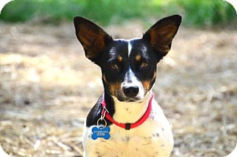 Terrier (Unknown Type, Small) Mix Dog for adoption in Chester, Connecticut - Evelyn