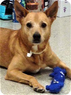 Cattle Dog Mix Dog for adoption in Shorewood, Illinois - Veronica