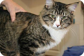 Maine Coon Cat for adoption in Allentown, Pennsylvania - Kris Kringle