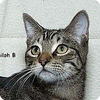 Domestic Shorthair Cat for adoption in Sacramento, California - Shiloh B