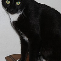 Domestic Shorthair Cat for adoption in Torrance, California - Charlie