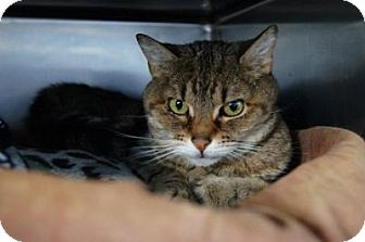 Domestic Shorthair Cat for adoption in New Milford, Connecticut - August