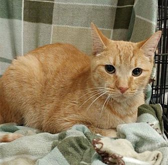 Domestic Shorthair Cat for adoption in Baton Rouge, Louisiana - Oliver