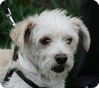 Terrier (Unknown Type, Small) Mix Dog for adoption in Carlsbad, California - Nugget
