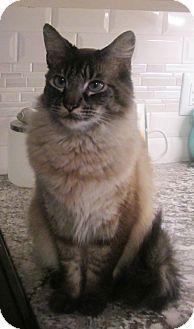 Siamese Cat for adoption in Gilbert, Arizona - Maverick