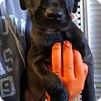 Adopt A Pet :: Lochia - Mission, KS