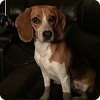 Beagle Mix Dog for adoption in Prosper, Texas - Abigail