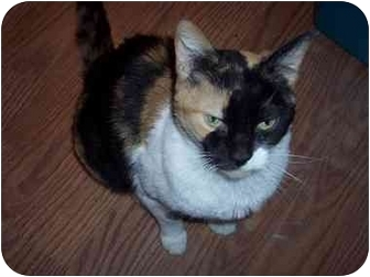 Calico Cat for adoption in Delmont, Pennsylvania - Patches