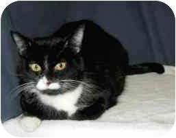 Domestic Shorthair Cat for adoption in Powell, Ohio - Vanessa