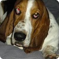 Basset Hound Dog for adoption in Fort Lauderdale, Florida - Roger