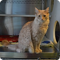 Domestic Longhair Cat for adoption in Oyster Bay, New York - Leo