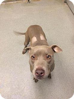 American Staffordshire Terrier Mix Dog for adoption in Columbus, Georgia - Vinna 6888
